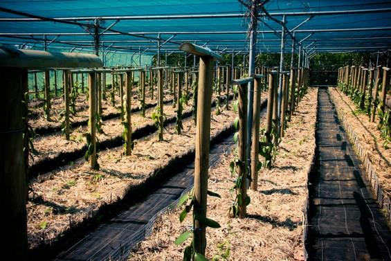 Grande serre de plantation de vanille