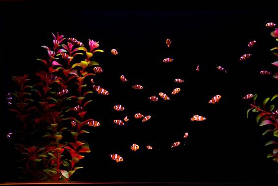 les poissons clowns