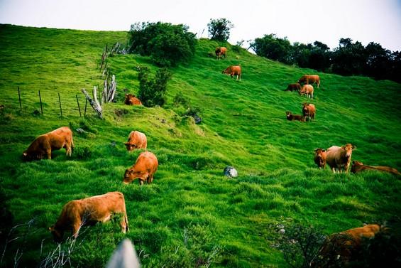 les vaches normandes sont de la partie !