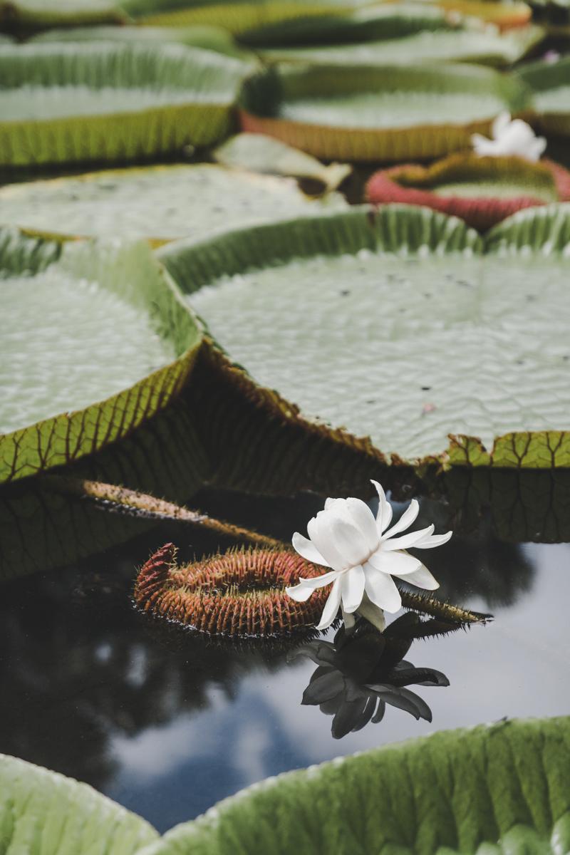 incontournables à l'ile Maurice, jardin botanique de Pamplemousses